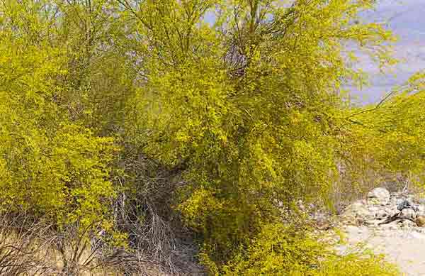 Photo of a Palo Verde tree covered with yellow blossoms