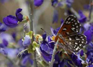 Closeup photo of a butterly enjoying the deep blue flowers of a Smoke Tree