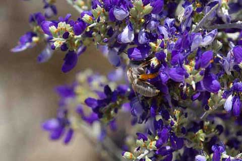 Photo of a bee gathering pollen from the deep blue blowers of a Smoke Tree