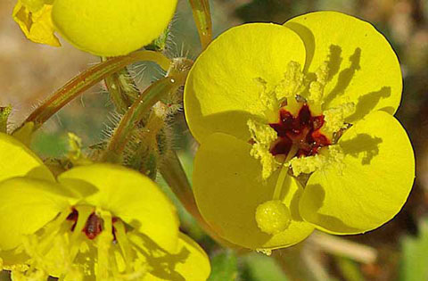 Closeup photo of Peirson's Evening Primrose with yellow flowers