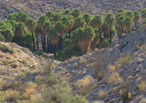 Photo of a large grove of tall California Fan Palms at Mountain Palm Springs
