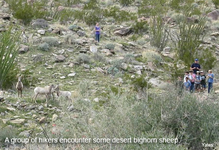 a group of hikers encounter bighorn sheep in anza-borrego