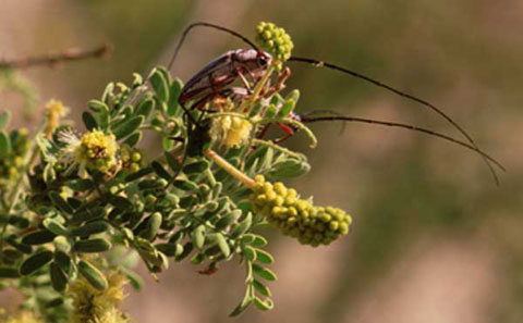 catclaw blossoms and longhorn beetles anza borrego